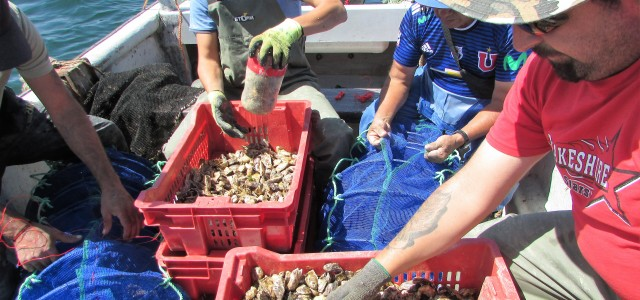 En Tongoy se realiza histórica siembra de ostras japonesa